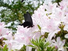 ツツジにとまる蝶