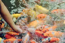Woman Feeding Food To Fancy Carp Fish By Hand In The Japanese Pond.