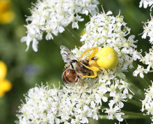 Goldenrod Crab Spider (Misumen...