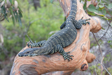 Lace Monitor Lizard On Tree Limb