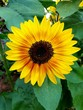 canvas print picture - Pretty sunflower photographed in Bloemfontein, South Africa