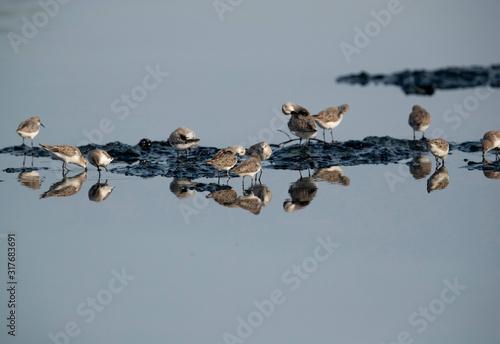 Little Stints preening and feeding duringlow tide at Tubli bay Bahrain Fototapet