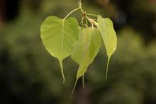 Heart Shape Young Green `Pho` ...