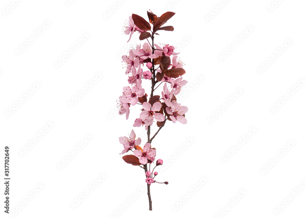 Fototapeta Blossoming branch with pink Cherry blossom flowers. Single spring tree branch with flowers and buds, isolated on white background. Stick tree branch from nature for design.