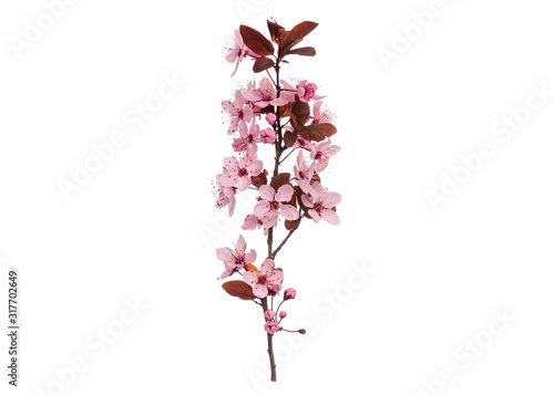 Obraz Blossoming branch with pink Cherry blossom flowers. Single spring tree branch with flowers and buds, isolated on white background. Stick tree branch from nature for design. - fototapety do salonu