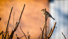 Juvenile European Robin Red Breast Sitting On A Branch Of A Tree In Winter At Sunset