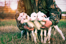 Four Newborn Lambs In Hands Of...