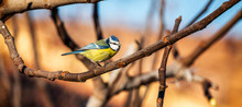Eurasian Blue Tit Sitting On A...