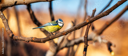 Canvas Print Eurasian blue tit sitting on a branch at sunset