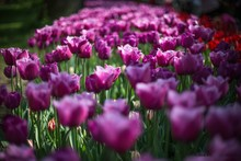 Selective Focus Shot Of A Purple Tulip With A Blurred Background