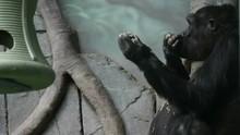 Plain Gorilla Eats Delicious. ...