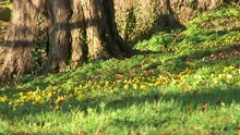 Yellow Aconites Growing Undern...