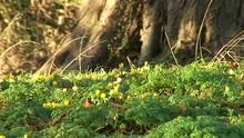 Yellow Winter Aconites Growing...