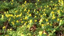 A Carpet Of Beautiful Yellow W...