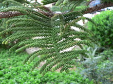 Close-up Of Green Branches Of ...