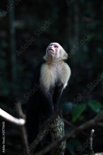Photo Vertical closeup shot of a Capuchin monkey sitting on a branch while looking up