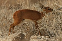 Closeup Shot Of A Young Oribi - An Endangered Animal Species - Among Thorny Bushes In Namibia