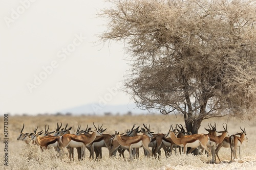 Photo Panoramic shot of a gazelle herd resting under a dried tree in a savanna landsca
