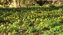 A Beautiful Carpet Of Yellow W...
