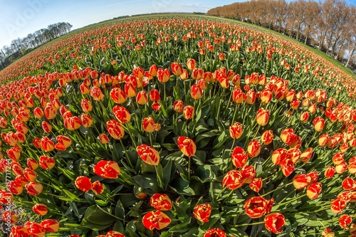 Wide shot of a red and yellow flower field at daytime