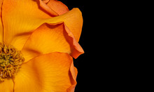 Yellow Orange Rose Blossom,color Fine Art Still Life Of A Single Bloom With Detailed Texture On Black Background