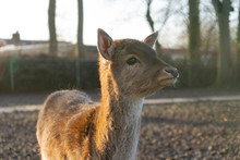 Baby Deer Looking Away From Th...