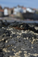 Barnacles And On Rocks On The Coastline; Out Of Focus Village In Background