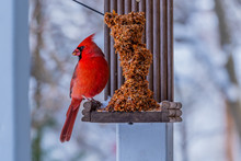 Red Northern Cardinal Sitting ...