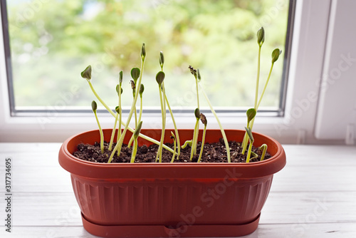 Fotografie, Obraz Germinated pumpkin sprouts on a windowsill