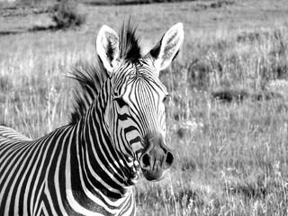 Fototapeta na wymiar Zebra 1060840