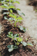 spring garden: beds with strawberries in sunny weather