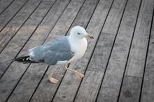 Beautiful Seagull Bird Walking On A Wooden Pier