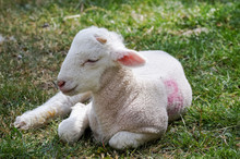 Baby Lamb, Lambkin On A Grass