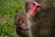 Japanese Macaques Mother With ...