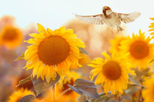Small Bird Sparrow Flies To A Bright Yellow Sunflower On A Sunny Clear Field