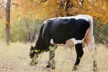 Longhorn Bull Calf Grazing In Fall Texas Landscape.