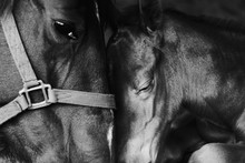 Loving Tender Moment Shows Bond Between Mare And Foal Horse Close Up.
