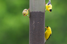 Three American Goldfinches At ...
