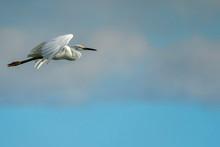 White Egret Portrait Flying In...