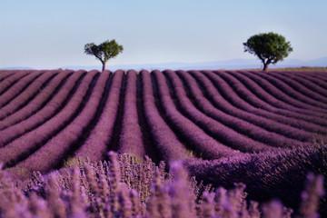 Panel Szklany Lawenda Lavender field summer landscape near Valensole. Provence,France