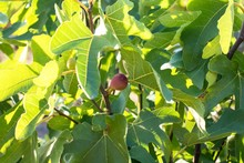 A Ripe Figs On The Green Fig Tree