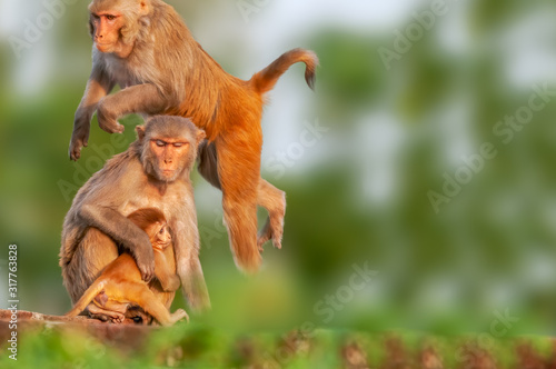 A male monkey jumping upon the female monkey Canvas Print