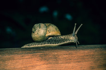 Snail Crawling On A Wooden Board