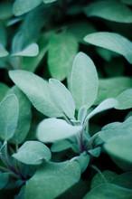 Sage , Salvia Officinalis, In Garden, Close-up
