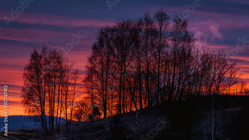 Brzozy o zachodzie słońca, piękne pomarańczowe niebo, złota godzina - 317767413