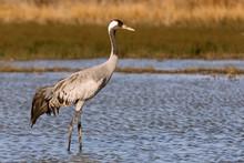 Common Crane, Grus Grus, Birds