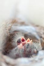 Hungry Newborn Birds In A Nest