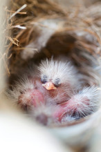 Newborn House Finch In A Nest