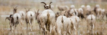 A Herd Of Bighorn Sheep Grazin...