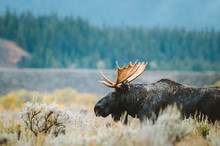 A Bull Moose Stands In A Sageb...